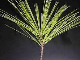 white pine tree eastern white pine