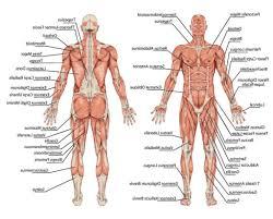 Human Body Anatomy Pics Anatomical Position Of Human Body Human Anatomy Chart