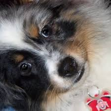 australian shepherd breeders near me city slickers ranch toy and mini australian shepherd breeder