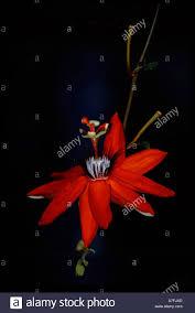 Rainforest Passion Flower - 100 rainforest passion flower sheepdog blog of blog