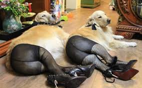Know Your Meme Dog - image 526209 dogs wearing pantyhose know your meme