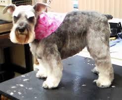 schnauzer hair styles haircuts pet motel and salon