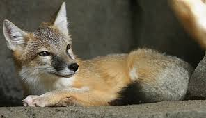 swift fox wikipedia