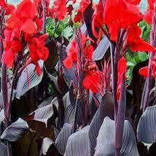 Canna Lilies Lily U0027tropicanna Black U0027