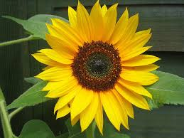 State Flower Of Colorado - kansas state flower native sunflower