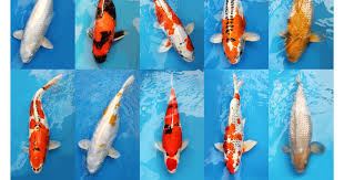 koi carp theft surrey appeal after 7 5k worth of valuable