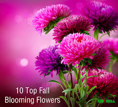 blooming flowers aster fall flower png