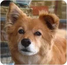 american eskimo dog nz rusty adopted dog spring valley ca american eskimo dog