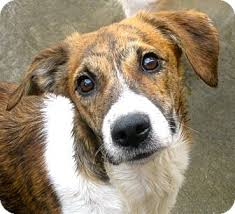 6 month australian shepherd nicole adopted puppy chicago il beagle australian shepherd mix