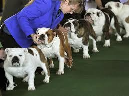 westminster australian shepherd 2014 138th annual westminster dog show