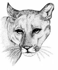 drawn cougar florida panther pencil and in color drawn cougar