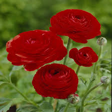 Ranunculus Flower Ranunculus Asiaticus Red 20 Flower Bulbs Buy Online Order Now