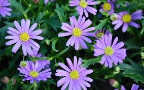 five small flowering plants for borders austraflora