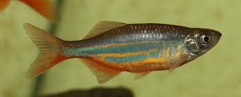 ornamental fish plants in aquaponic system worldwide aquaculture