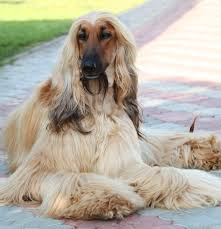 afghan hound walking breed of the week the afghan hound video simply for dogs