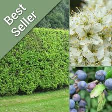 native plants uk blackthorn native hedging native hedge plants