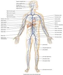 complete circulatory system