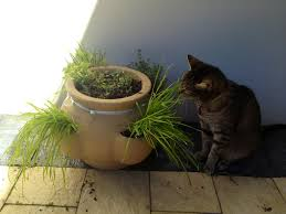 cats like to nibble on cat grasses u0026 other cat friendly plants