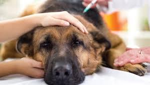 affenpinscher vs german shepherd rabies in dogs symptoms causes u0026 prevention dogtime