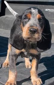 bluetick coonhound rescue california bluetick coonhound puppies for sale jpg 400 632 pretty huakya