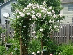 planting new dawn roses a farmhouse reborn