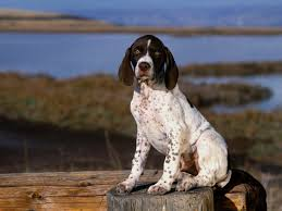 Wallpaper Dog White Pointer Dog Cute Pointer Puppy Dog Wallpaper Dog