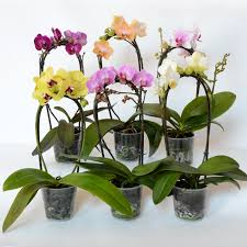 moth orchid phalaenopsis orchid is a garden