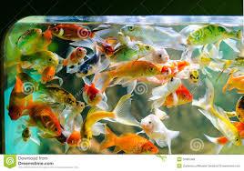 small pond fish 3 small koi carp golden fish 33062485 jpg