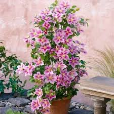 clematis balkon 24 best clematis images on clematis plants and