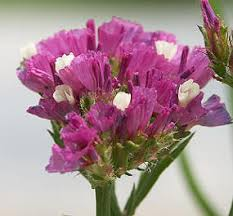 statice flowers limonium sinuata statice