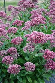 top tips for growing sedum stonecrop the right way article by