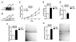 ijms free full text autocrine human growth hormone promotes