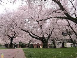 yoshino cherry tree for sale the planting tree