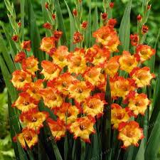gladiolus flower 2 bulbstrue orange gladiolus bulbs beautiful gladiolus flower not