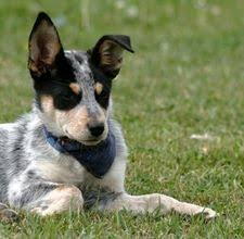 lifespan of australian shepherd breeds dog blue heeler dog health and lifespan