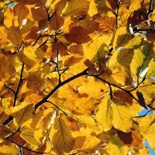 fagus sylvatica common beech tree buy fagus sylvatica trees online