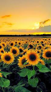 wallpaper craft pinterest sunset view from sunflower field craft ideas pinterest with