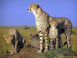 cheetah wallpapers animals town