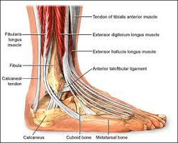 Foot Vascular Anatomy Foot Anatomy Joseph Stuto Dpm
