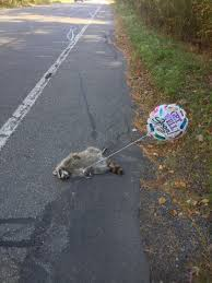 free raccoon funny road kill picture
