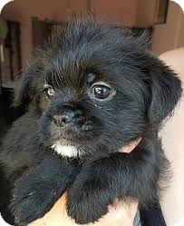 affenpinscher havanese mix los angeles ca pomeranian shih tzu mix meet cubbie a puppy