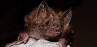 how to stop vampire bats wreaking havoc no stakes or garlic required