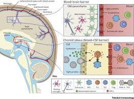 Blood Brain Barrier Anatomy Type I Ii Interferon Balance In The Regulation Of Brain Physiology