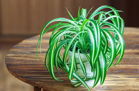 Indoor Plants That Don T Need Sun 6 Plants That Can Grow Without Sunlight
