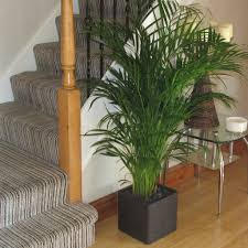 buy large areca palm tree 1 20 1 30m beautiful quality indoor