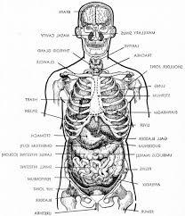 Human Anatomy Torso Diagram Female Human Anatomy Organs Diagram