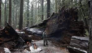 Chandelier Drive Through Tree Why California U0027s Ancient Sequoia U0027tunnel Tree U0027 Toppled Atp Asia