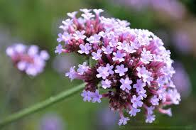Verbena Flower Flower Symbolism Readsbyredriverbanks
