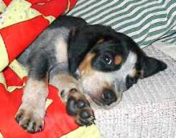 bluetick coonhound owners bluetick coonhound picture