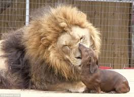 bonedigger crippled lion forms inseparable bond milo